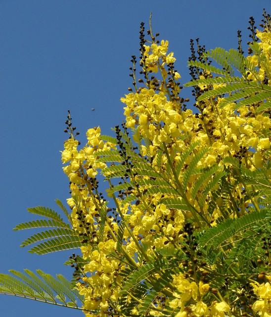 Schizolobium Parahyba Guapuruvu Tree Info About This
