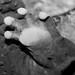 Hellbender foot Cryptobranchus