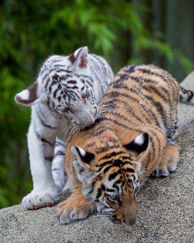 Bengal Tiger Cubs | Bengal Tiger cubs from the Cougar ...