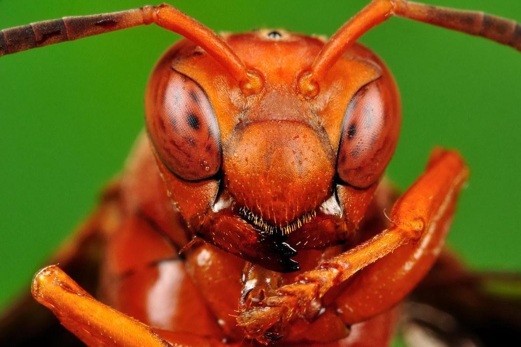 red wasp portrait polistes carolina view on black xbn83 flickr