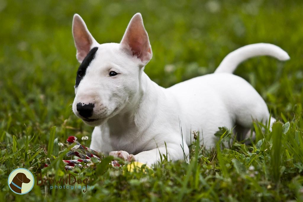 Gus: Mini Bull Terrier | Kerrie | Flickr