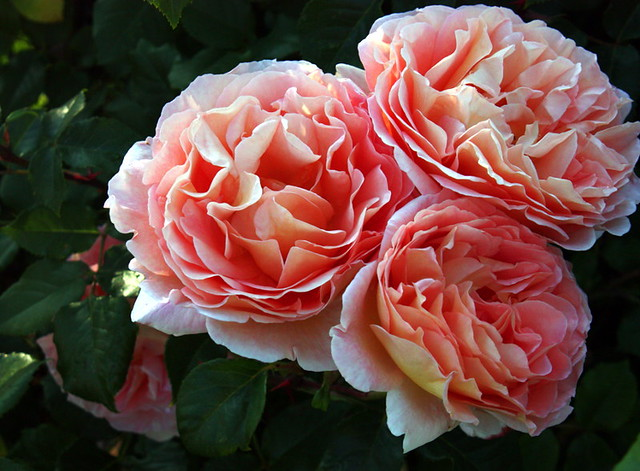 abraham darby austin rose from this july in my garden. Black Bedroom Furniture Sets. Home Design Ideas