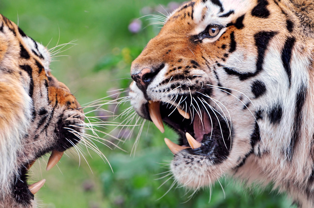 An Argument This Day The Two Tigers Of The Zoo Of