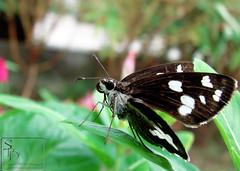 026. butterfly : Grass Demon