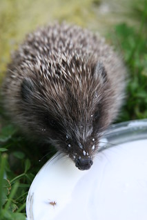 A hedgehog is drinking some milk | by Nikkka