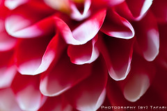 Petal Hide Out Red | by Tafari