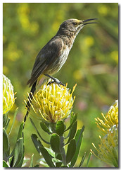 Cape Sugarbird (Promerops cafer) | by Ian Junor
