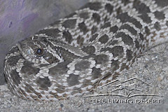 Western Hognose | by The Living Desert