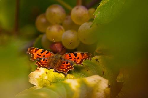 Butterfly on my grapes | by vongole1