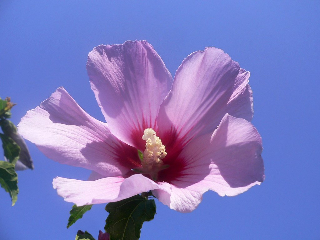 the national flower of south korea hibiscus syriacus flickr