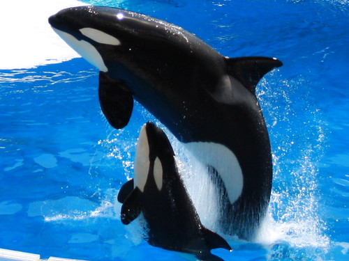 mother and baby killer whale close up | At Sea World in ...