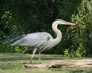 Great Blue Heron | by klrusch56