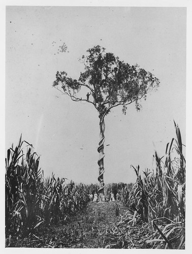 Large fig tree and native vine growing in the middle of sugar cane in the Logan district, 1870 | by State Library of Queensland, Australia