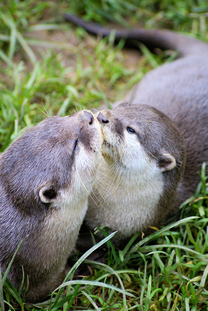 Asian Otters Kissing  A Couple Of Asian Otters At The -4160