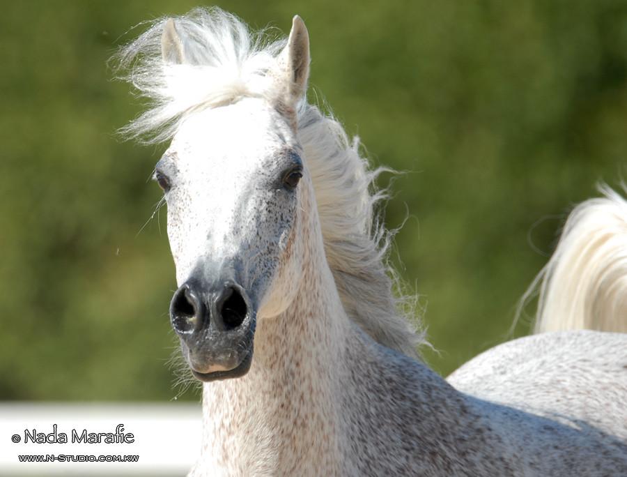 Arabian Horse | Locati...