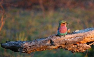 Lilac Breasted Roller | by tkkp