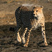 Ndutu Cheetah