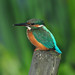 Kingfisher (Alcedo atthis) Female, Perched on a Wooden Fence Post