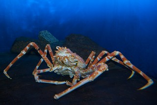 Crab, Enoshima Aquarium | by julesberry2001