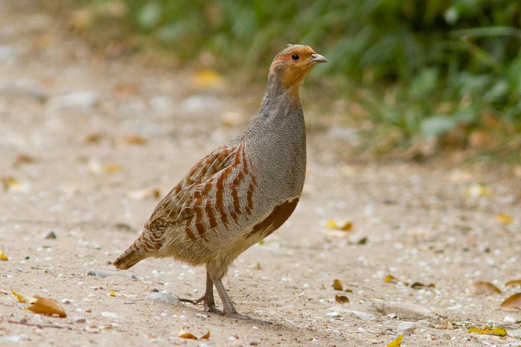 Grey Partridge 110511 Perdix Perdix The Male Of A Pair