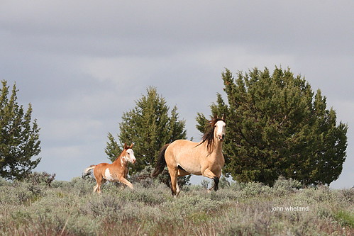 Palomino Butte HMA, Or. 5-2011 | by calljohn3
