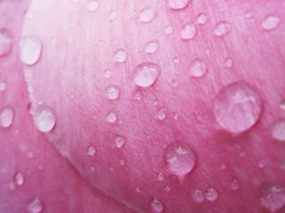 Raindrops on Pink Petals | by shaire productions