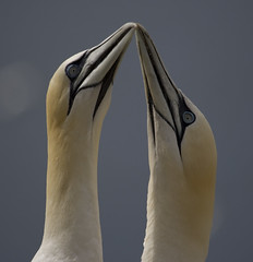 Gannets. | by richard.mcmanus.