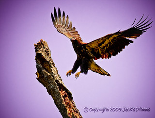 Young Eagle about to land | by jmctee