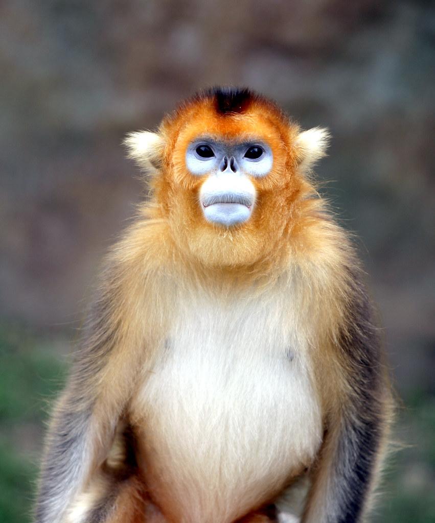 golden snub nosed monkey English – golden snub-nosed monkey, sichuan golden snub-nosed monkey.