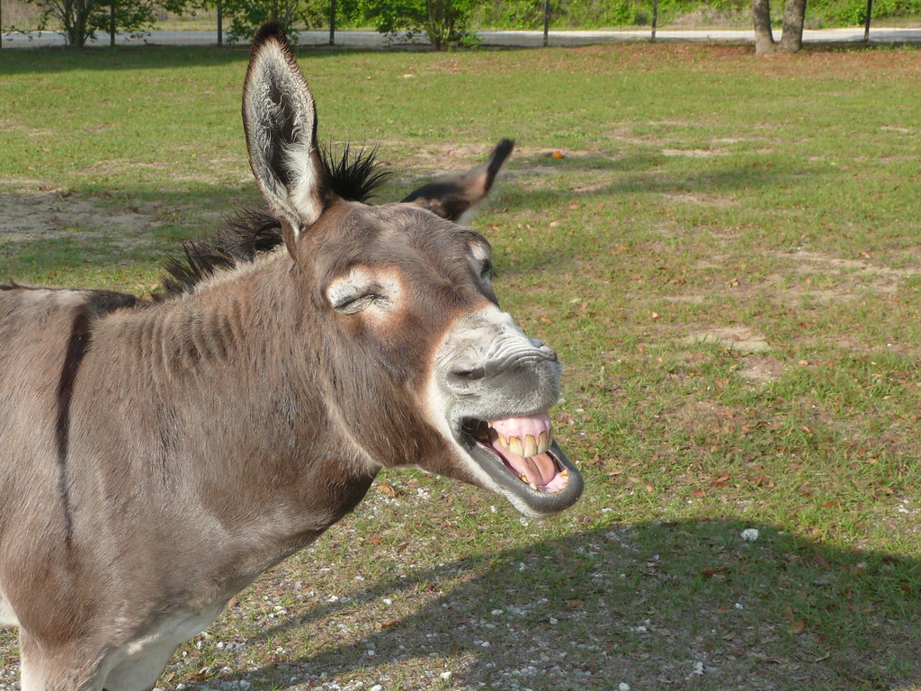 Image result for laughing mule