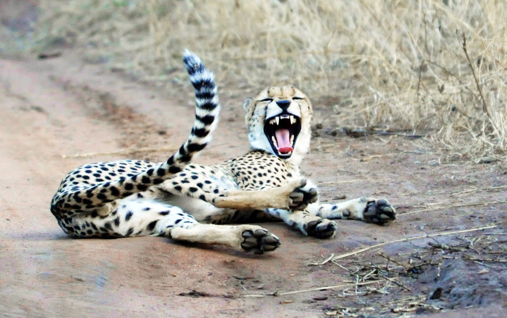 laughing cheetah - photo #8