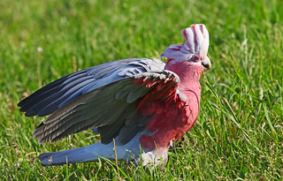 Galah : Alarmed but keeps on feeding ... | by Clement Tang **bbbusy**