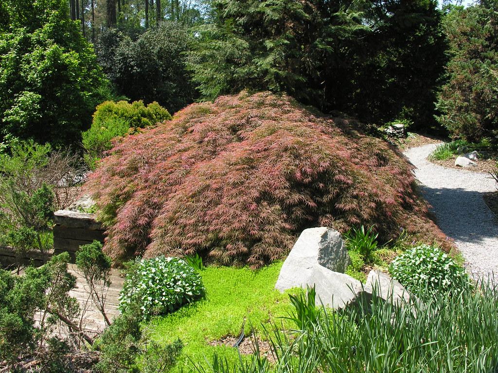 Acer palmatum var dissectum jw | Clemson Extension Home & Garden ...