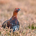 Red Grouse - Male - 5