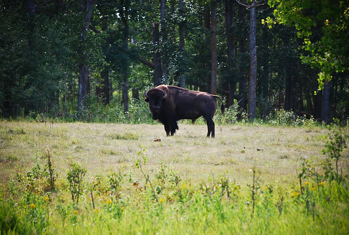where the buffalo roam, 232/365 | by Sophie_vf