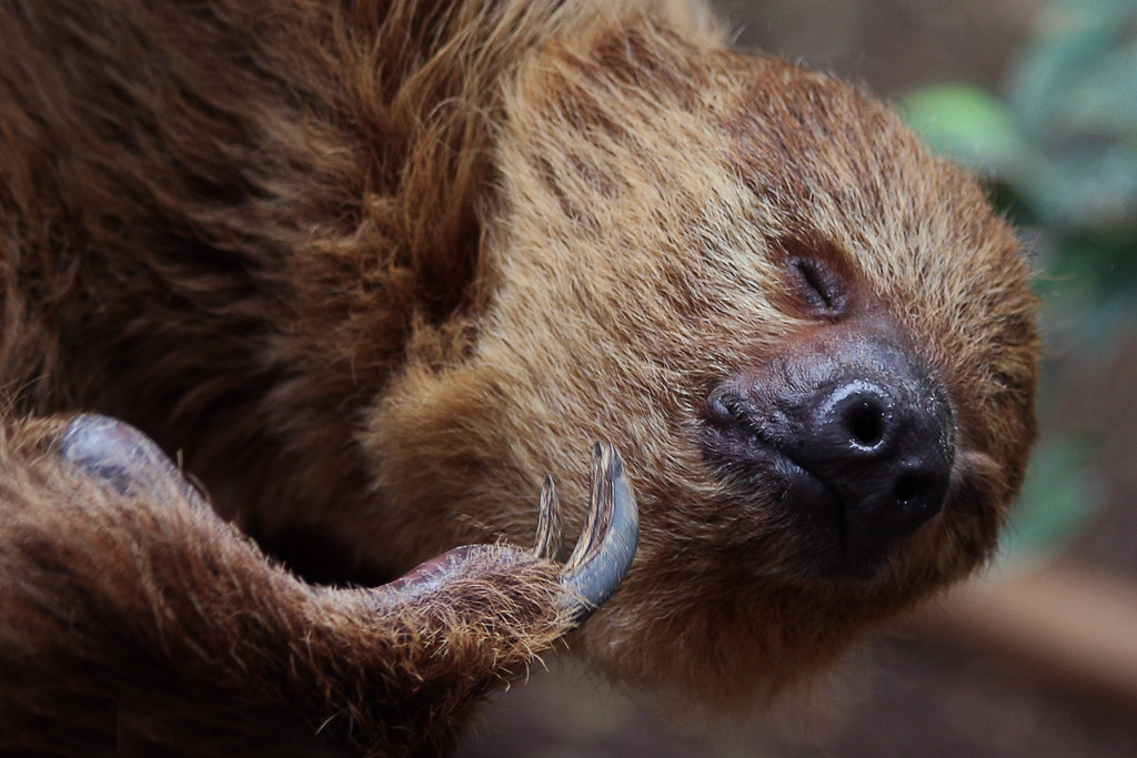 Image Result For Two Toed Sloth