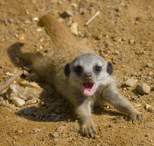 Baby Meerkat Almost Pancakes