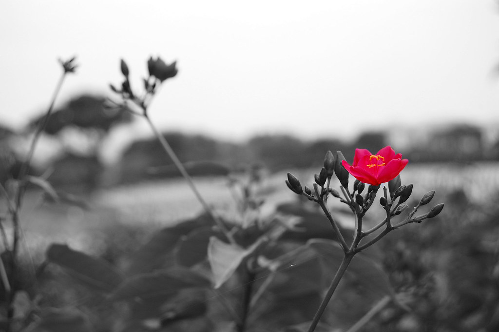 Black and white with red flower by bertgonzaga