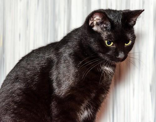 Morgana, gatita negra monísima, juguetona y tímida esterilizada, nacida en Julio´16, en adopción. Valencia. ADOPTADA. 32800128436_bae5942e87