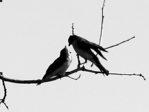 Kingbird Feeding Young B&W 20090813 | by Kenneth Cole Schneider
