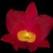 Blc Lasster's Gold x Ctna Why Not 'Tsai 3404'