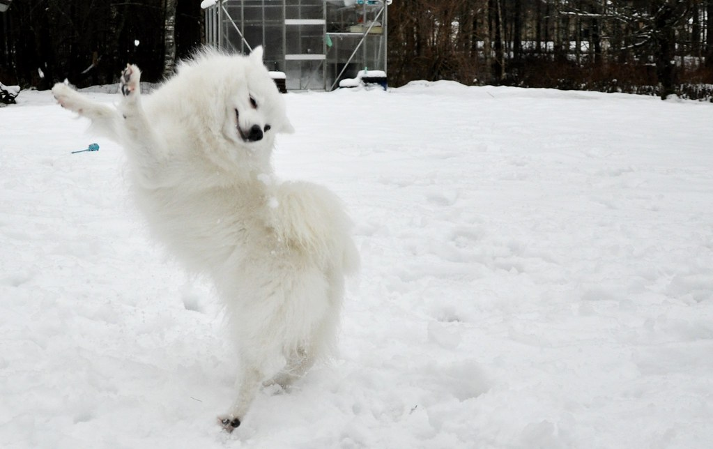 Japanese Spitz In Snow Hanna Gustafsson Flickr