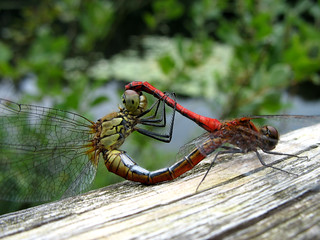 Dragonfly Vagrant Darter (Mating) - Sympetrum sanguineum | by Batikart... off !!!