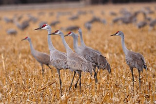 More Sandhill Cranes | by jc-pics