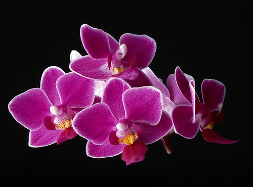Purple Orchids On Black Background Blooming Blossoming