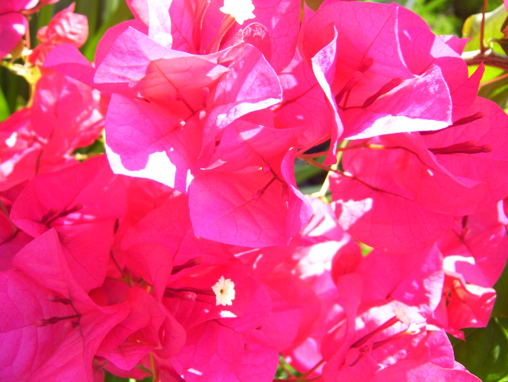 Summer Flowers In California Common But Pretty Bougainvill Flickr