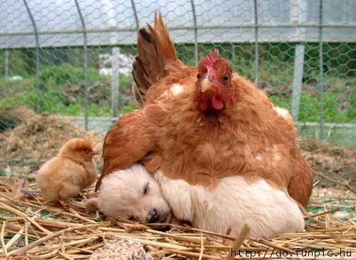 Chicken Puppy