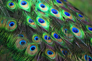 Peacock's feathers | by Marite2007