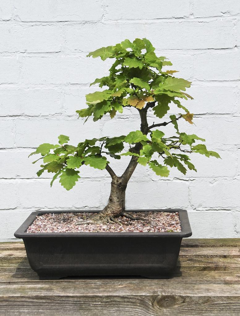 Oak Bonsai Tree Quercus Robur On Outdoor Display Bench