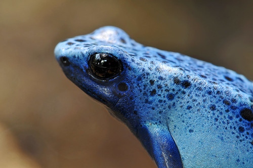 ...and also in blue! | by Tambako the Jaguar